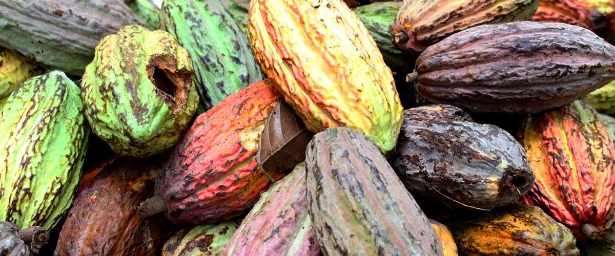 cacao_de_colombia2